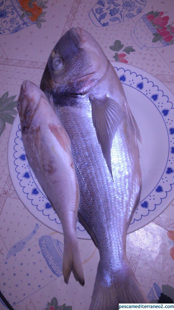 Doradas pescadas en la playa de la mata