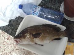 corvina 1.4 kg pescada en aguilas el 11/05/2012